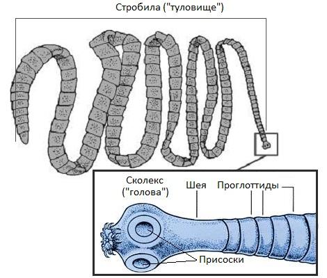 средство от паразитов в организме интохис