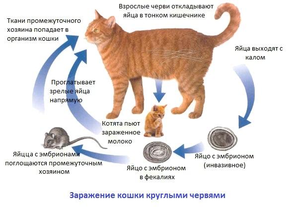 Цикл глистов у кошек