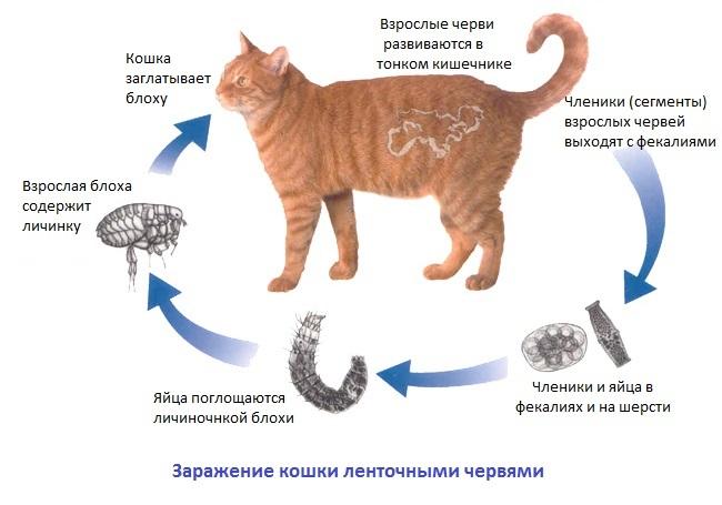 Глисты у кошек – симптомы, признаки, лечение, профилактика