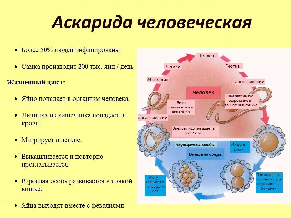 цикл аскариды Жизненный цикл аскариды