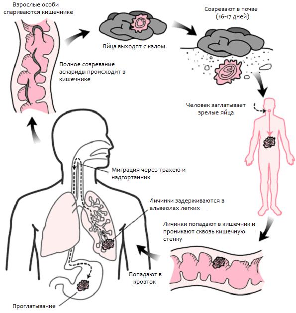 Как можно заразиться аскаридами?