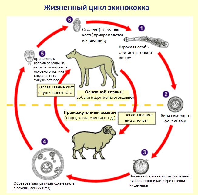 эхинококкоз цикл