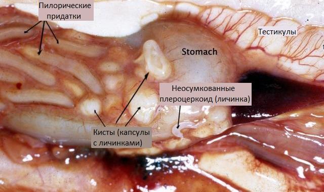 Ленточный червь Diphyllobothrium в рыбе