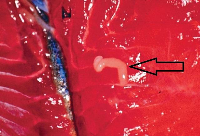 Неосумкованная личинка