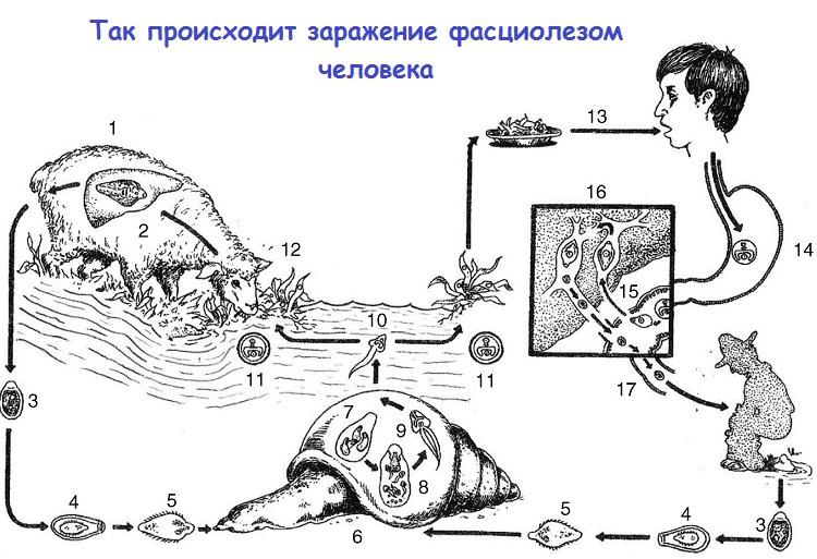 Схема заражения фасциолезом человека
