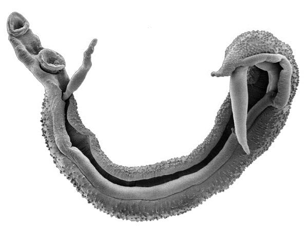 Взрослые шистосомы