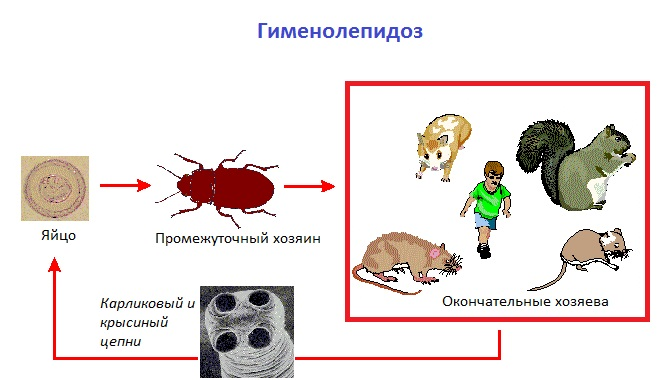 Гименолепидоз: симптомы, диагностика, лечение, профилактика