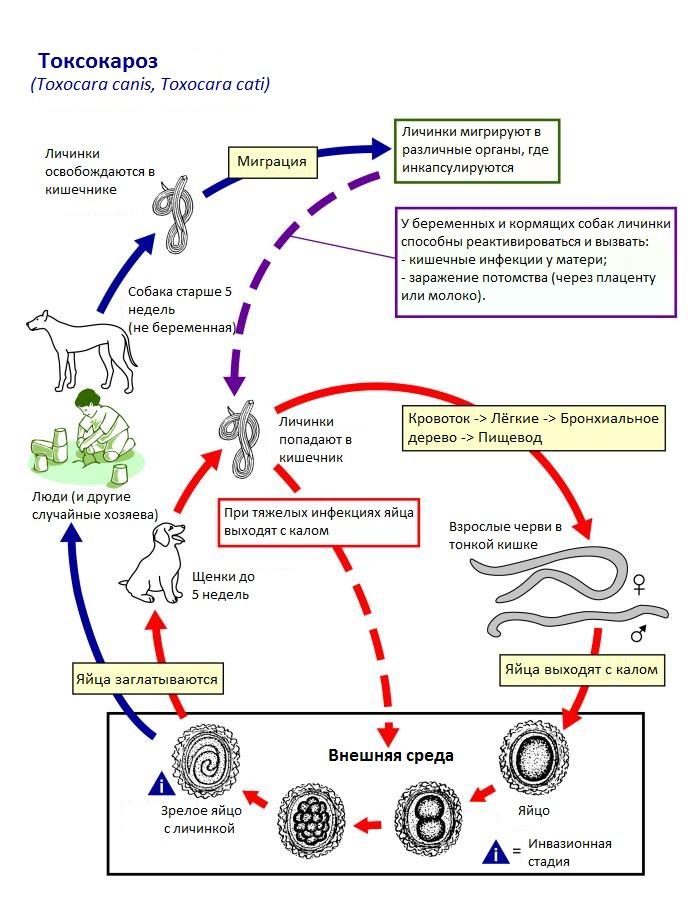 Жизненный цикл токсокар и заражение токсокарозом человека