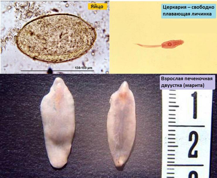 Печеночная двуустка: яйцо, личинка и взрослая