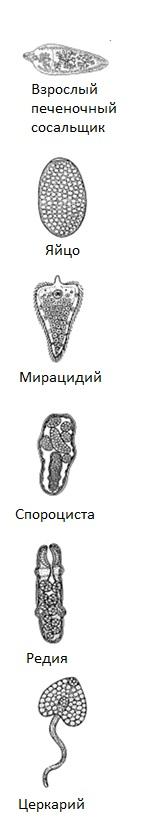 Схема жизненного цикла печончных сосальщиков
