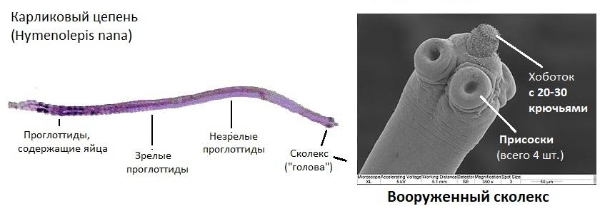 Строение карликового цепня