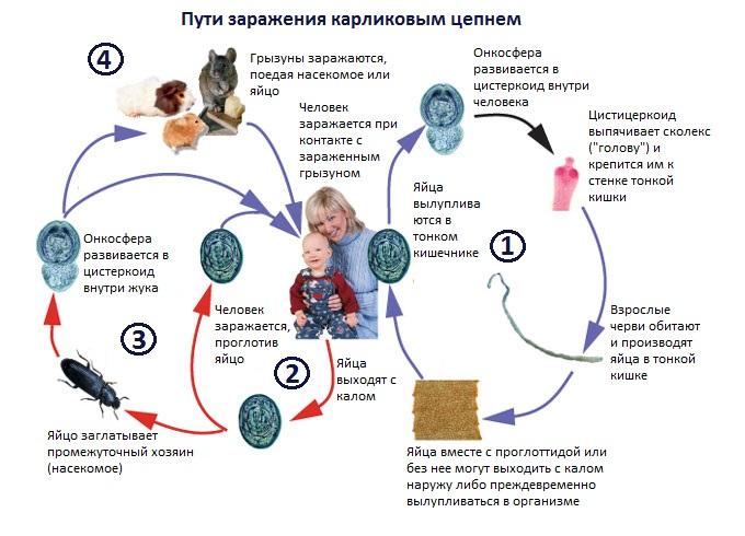 Карликовый цепень: жизненный цикл, строение, заражение
