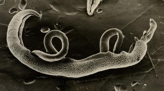 Возбудители шистосомоза – самец и самка