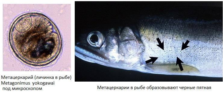 Метагонимоз рыб фото