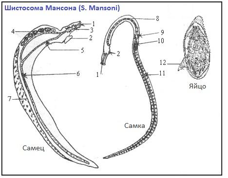 Морфология шистосомы на примере S. Mansoni