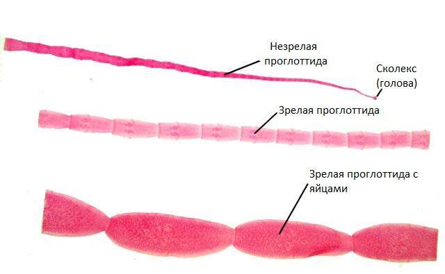 Морфология огуречного цепня