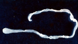 Spirometra erinacei личиночная стадия