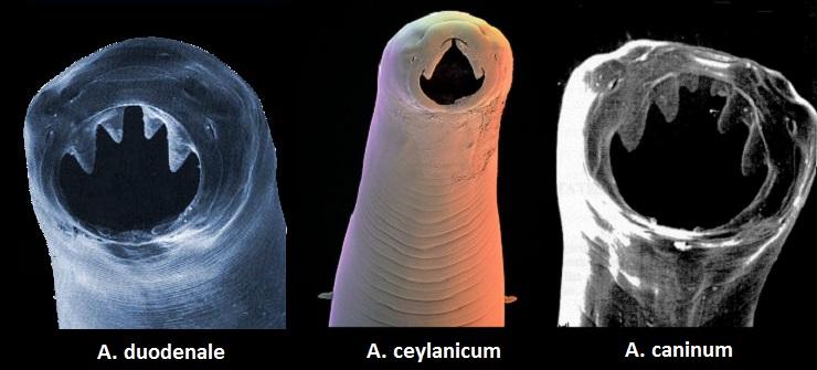 Сравнение количества зубов у разных видов анкилостом