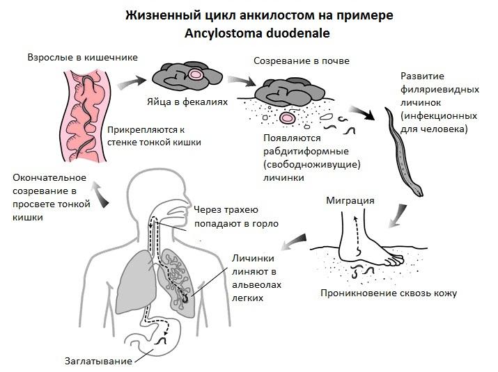 Жизненный цикл анкилостом на примере Ancylostoma duodenale