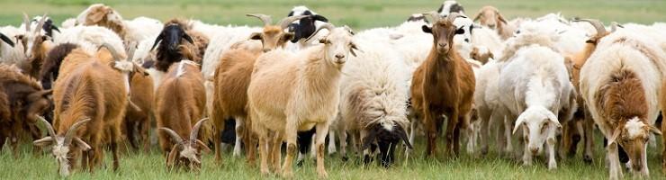 Астраханская область планирует увеличить поставки мелкого рогатого скота на Ближний Восток