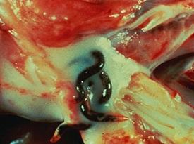 Stephanurus dentatus в паранефральном жире