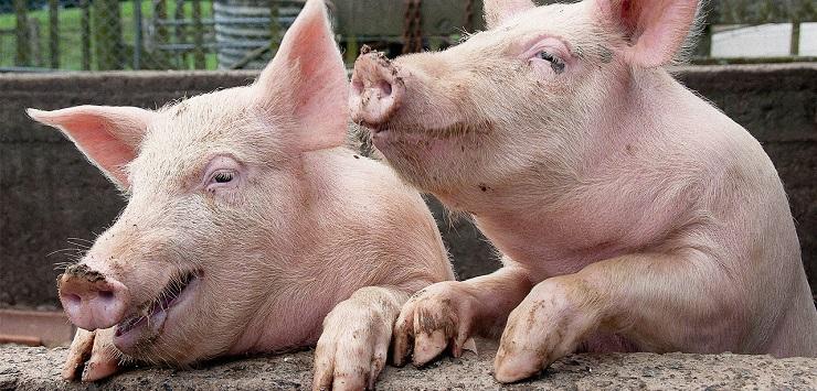 глисты у взрослых свиней