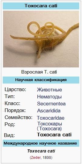 Кошачья токсокара (Toxocara cati) – кошачья аскарида