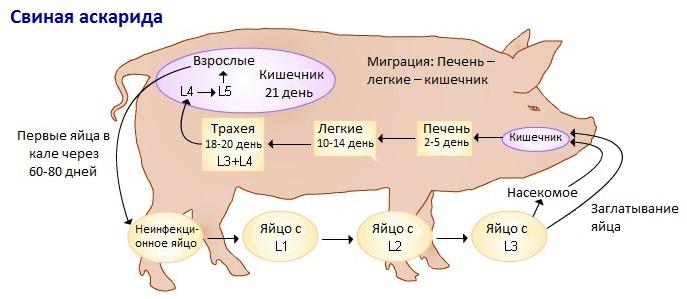 Схема цикла развития свиной аскариды