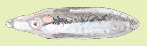 Рисунок взрослой ланцетовидной двуустки
