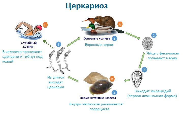 Механизм заражения церкариозом