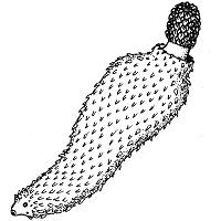 Скребни (колючеголовые черви)