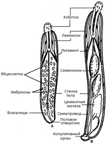 паразиты которые могут жить в теле человека