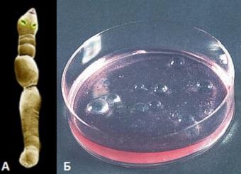 Взрослый альвеоккок и личиночная стадия