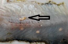 Clinostomum marginatum
