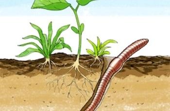 Дождевой червь в почве