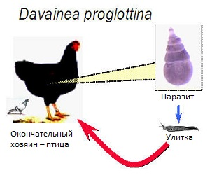 Davainea proglottina