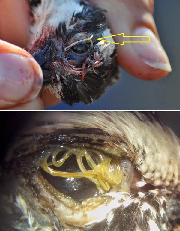 Род Oxyspirura в глазах у птицы