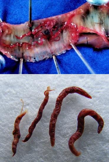 Syngamus trachea